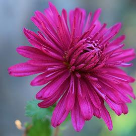 by Marica Popovic - Flowers Single Flower