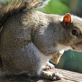 Friendly Squirrel by Leigh Thomson - Animals Other Mammals ( animals, nature, florida, sawgrass state park, travel, gray, usa, mammal, squirrel, animal )