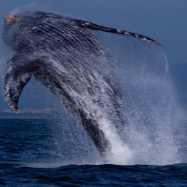 Humpback jumping for joy by Gordon Deeks - Animals Sea Creatures