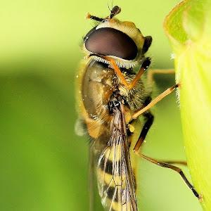 Hoverfly - Eupeodes sp. 2.JPG