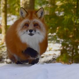 red fox by Kristin Smestad - Animals Other ( rødrev, rød, rev, fox, red )