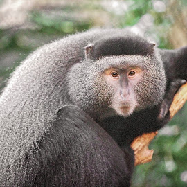 Monkey by Tony Bendele - Animals Other Mammals ( monkey, animal )