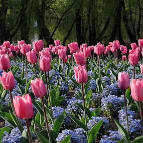 Flower end of the old lake by Dubravka Bednaršek - Flowers Flower Gardens ( lake, tulips,  )