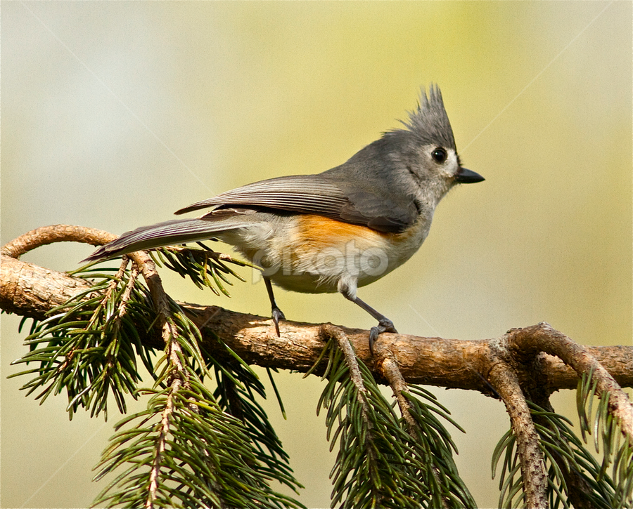 Tufted Titmouse by Jeannette Thalmann-Bendeth - Animals Birds ( bird, tufted titmouse, backyard, titmouse,  )