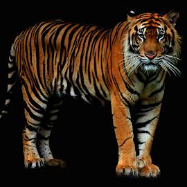 Patience by Yohanes Arief Dewanto - Digital Art Animals ( big cat, wild, tiger, digital art, animal )