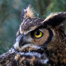 Great Horned Owl by Bruce Arnold - Animals Birds