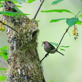 American Bushtit at Nest by Briand Sanderson - Nature Up Close Hives & Nests ( bird, washington state, nisqually national wildlife refuge, nest, psaltriparus minimus, bushtit, united states, american bushtit )