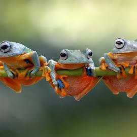 3 in 1 by Kurit Afsheen - Animals Amphibians ( animals, macro, indonesia, tree frog, amphibian, frogs, amphibians )