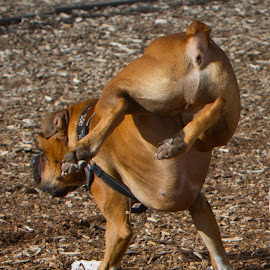 by Jim Jones - Animals - Dogs Playing ( boxer dog, dog playing, doggy, dogs running, dog, dog park )