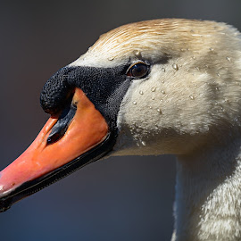 Head of Mute swan (Cygnus olor) against blue water by Jan Gorzynik - Animals Birds ( water, single, wading, neck, bill, drop, white, wildlife, olor, eak, long, gracious, portrait, bird, ornithology, red, nature, blue, cygnus, swan, big, head, large, mute )