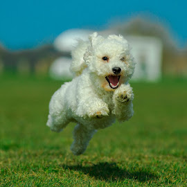Hover dog by Jenny Trigg - Animals - Dogs Running ( grass, green, happy, bichon frise, puppy, hover, dog, running )