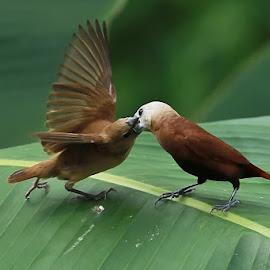 Bondol by Hernawan Safari - Animals Birds