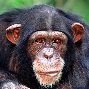 Chimp Memory Test For PC / Windows 7/8/10 / Mac – Free Download