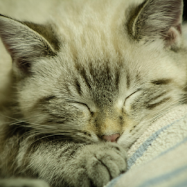 Angels When They Sleep  by Julie Wooden - Animals - Cats Kittens ( kitten, cat, north dakota, b&w, black and white, hebron, indoors, sleeping, sam, matte finish, autumn, fall, feline, animal,  )