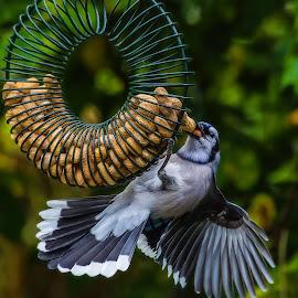 Bluejay by Dave Lipchen - Animals Birds ( bluejay )