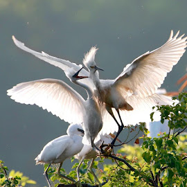 Con cò Snowy Egret by William Wu - Uncategorized All Uncategorized