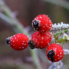 Frosted Hips by Chrissie Barrow - Nature Up Close Other Natural Objects ( red, nature, green, white, frost, rose hips, bokeh, closeup, berries )