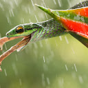 Snake Having Frog On Menu