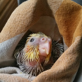 Aww...baby bird in a blanket... spending some time getting babies used to being handled and wrapped up. (For nail trimming and vet appointments).  Getting cute right?  This is baby#3.  Orange cheeks starting to show.  18 days old.  70 grams. by Suzanne Stonehouse Brummel - Animals Birds
