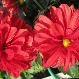 Red Dahlias by Viive Selg - Flowers Flower Gardens (  )