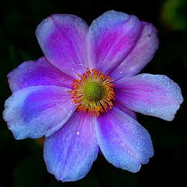 Pourpre by Gérard CHATENET - Flowers Single Flower (  )