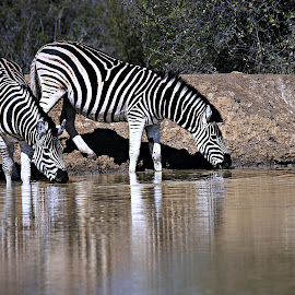 Zebra by Pieter J de Villiers - Animals Other