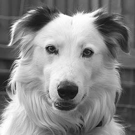 B&W Gyp by Chrissie Barrow - Black & White Animals ( monochrome, black and white, pet, ears, fur, dog, mono, nose, portrait, eyes, animal )