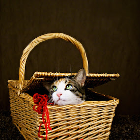 Guilty  by Sondra Sarra - Animals - Cats Portraits ( balls, cat, green, basket, brown, cute, yarn )