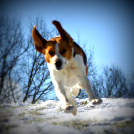 Sally running after Daniel on the sled! by Carlene Pulley - Animals - Dogs Running