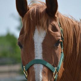 by Sherri Updike-Dzeylion - Animals Horses