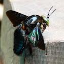 Bornean Carpenter Bee
