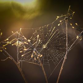 Spider web by Hrodulf Steinkampf - Nature Up Close Webs ( cobweb, orb web, hairy field spider, arachnid, web, spider )