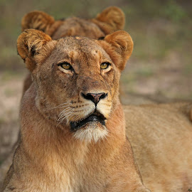 Tsalala lioness at Londolozi. by Anthony Goldman - Animals Lions, Tigers & Big Cats ( big cat, wild, predator, loiness, londolozi, africa, tsalala pride )