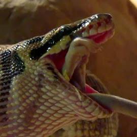 Ball Python Eating Rat by Stuart King - Animals Reptiles ( python, predator, snake, nature, feeding, prey, reptile, rat )