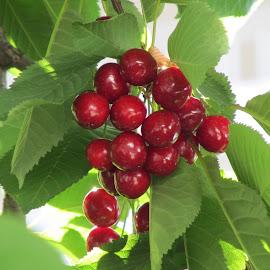 kiraz by Salih Sarıcaoğlu - Food & Drink Fruits & Vegetables ( yaprak, kiraz, meyve, dal, yeşil )