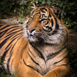 Chillin' by Marc Steele - Animals Lions, Tigers & Big Cats ( orange, critters, cat, animals, mountain, tiger, welsh mountain zoo, wales, wildlife, cymru, coast, colwyn bay, zoo, outdoors, black, animal )