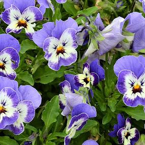 Pansies by Carol Leynard - Flowers Flower Gardens ( viola, blue, plant, garden, pansy, flower )
