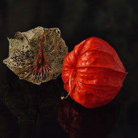 PHYSALIS by Wojtylak Maria - Nature Up Close Other plants ( plant, red, dry, decorative, seed, physalis,  )