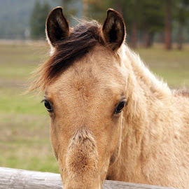 Cutie Pie by Giselle Pierce - Animals Horses ( horse head, horse, yearling )
