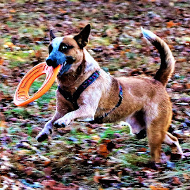 Cattle Dog With Frisbe by Roxanne Dean - Animals - Dogs Playing ( frisky, fall scene, playing, cattledog, frisbe,  )