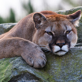Cougar (Puma concolor) I by Briand Sanderson - Animals Lions, Tigers & Big Cats ( cat, cougar, mountain lion, puma, feline, panther, mammal )