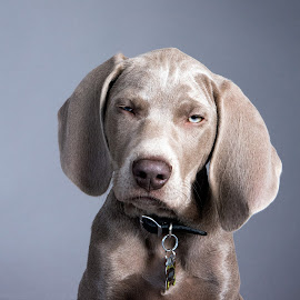 Puppy Stink-eye by Jen St. Louis - Animals - Dogs Puppies ( studio, pet portrait, puppy, portrait, weimaraner, weimaraner puppy, pet,  )