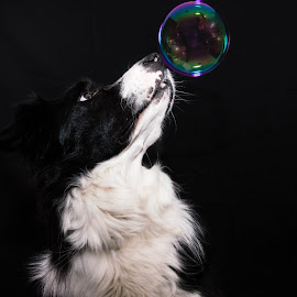 Bubble by Thyra Schoonderwoerd - Animals - Dogs Portraits ( studio, playing, bubble, bordercollie, dog, photography )