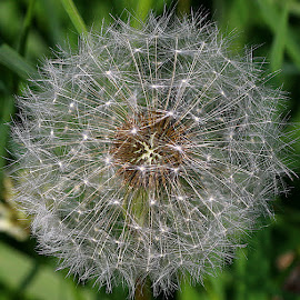 Nature's Clock by Chrissie Barrow - Nature Up Close Other plants ( plant, wild, macro, pattern, dandelion, nature, clock, green, white, seeds, bokeh, design, closeup, seedhead )