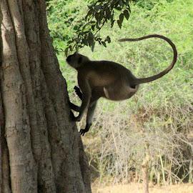 LANGUR by Rohit Lamba - Animals Other ( ranthambore, langur in climbing mode )