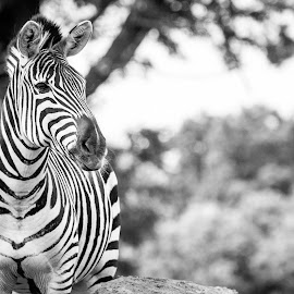 Zebra by Eva Ryan - Animals Other Mammals ( zebra, oklahoma city zoo,  )