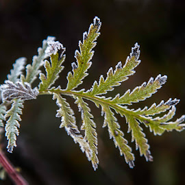Frost on Leaf by Sue Matsunaga - Nature Up Close Leaves & Grasses