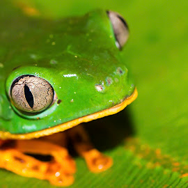 My what big eyes you have by Rebecca Ramaley - Animals Amphibians ( macro, iquitos, peru, frog, green, close up, amazon )