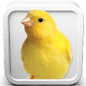 Download  Canary Bird Sounds  Apk