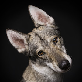 Shiva by Judith Vrugt - Animals - Dogs Puppies ( studio, wolfdog, pet, puppy, dog, portrait )